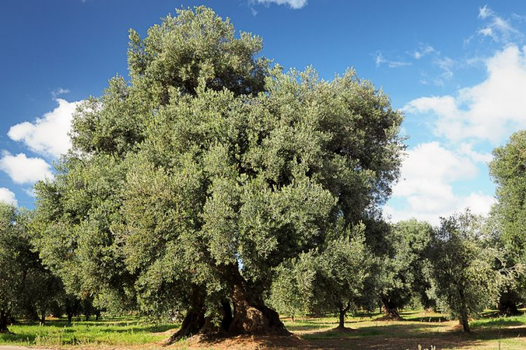Olive tree of the Crucifix and olive groves
